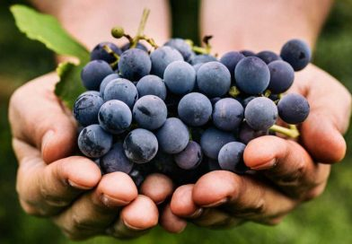 El resveratrol, un compuesto de las uvas, protege contra alteraciones celulares del alzhéimer